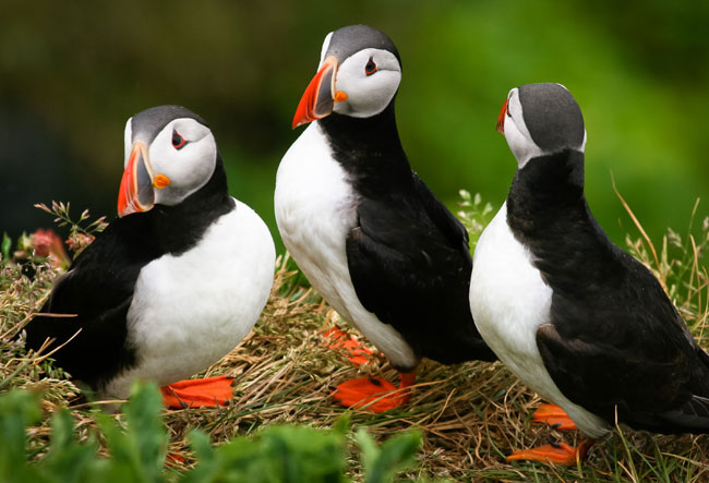 Puffins Anglesey